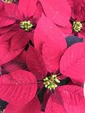 Poinsettias. Beautiful real poinsettias christmas background royalty free stock photos