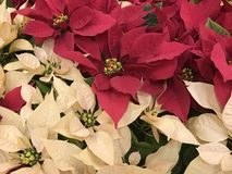Poinsettias. Beautiful real poinsettias christmas background royalty free stock images