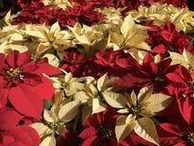 Poinsettias. Beautiful real poinsettias christmas background stock images