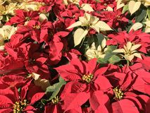 Poinsettias Stock Photography