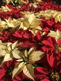 Poinsettias Stock Photo