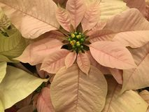 Poinsettias Royalty Free Stock Photo