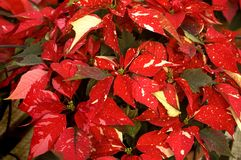 Poinsettias Close Up Royalty Free Stock Images