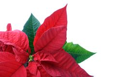 Poinsettias close-up. Christmas flower isolated on white royalty free stock photography