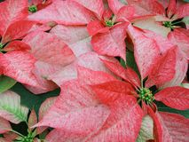Poinsettias cor-de-rosa Foto de Stock Royalty Free