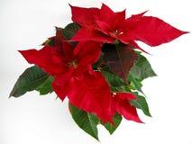 Poinsettias de la Navidad fotografía de archivo libre de regalías