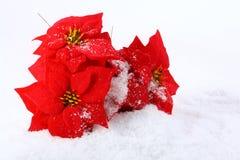 poinsettias de Noël rouges image libre de droits