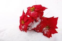 Poinsettias del rojo de la Navidad Imágenes de archivo libres de regalías