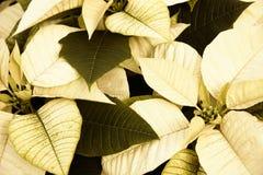 Poinsettias do Sepia imagem de stock royalty free