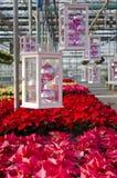 Poinsettias et décorations colorées de Noël Image libre de droits