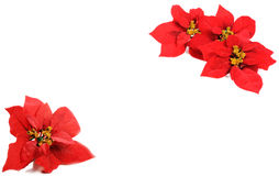 Poinsettias flower Royalty Free Stock Image