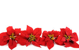 Poinsettias flower Stock Photography