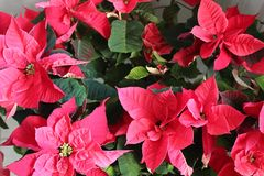 Poinsettias in full bloom. Beautiful poinsettias in full bloom on a very sunny day Royalty Free Stock Photography