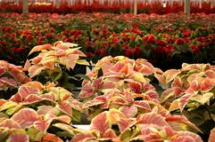 Poinsettias Full View Stock Photos