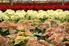 Poinsettias in Greenhouse Stock Image