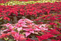 Poinsettias in Greenhouse. Potted poinsettia plants in a greenhouse stock photography