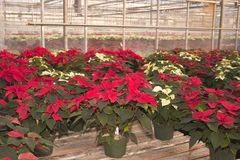 Poinsettias in Greenhouse. Potted poinsetta plants sitting on wooden platforms in a greenhouse stock images
