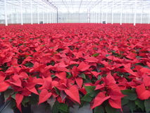 Poinsettias Royalty Free Stock Image