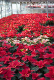 Poinsettias in a greenhouse. Hundreds of beautiful poinsettia flowers ready for the holiday season stock photos