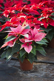 Poinsettias in a greenhouse. Hundreds of beautiful poinsettia flowers ready for the holiday season royalty free stock images