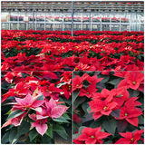 Poinsettias in a greenhouse. Hundreds of beautiful poinsettia flowers ready for the holiday season stock photography