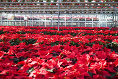 Poinsettias in a greenhouse. Mexican flame leaf plants (Euphorbia pulcherrima) in a greenhouse, Albenga, Italy royalty free stock images