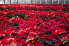 Poinsettias in a greenhouse. Mexican flame leaf plants (Euphorbia pulcherrima) in a greenhouse, Albenga, Italy royalty free stock image