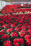 Poinsettias in a greenhouse Royalty Free Stock Photography