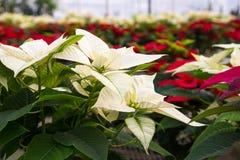 Poinsettias in greenhouse Stock Photos