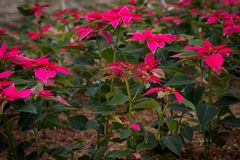 Poinsettias growing in a field royalty free stock images