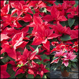 Poinsettias. Hundreds of beautiful poinsettia flowers ready for the holiday season stock image