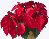 Poinsettia isolated on a white background Stock Photography
