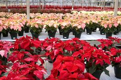 Poinsettias Lined Up Stock Photos