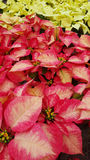 Poinsettias. Pink, red, and white poinsettias Stock Photography