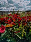 Poinsettias. In front of beautiful sky royalty free stock photography