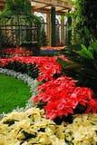 Poinsettias pour les vacances Images stock