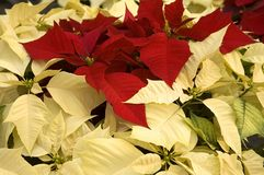 Poinsettias of Red and White Royalty Free Stock Photos