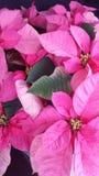 Poinsettias rosados Imagen de archivo