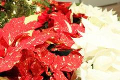Poinsettias rossi e bianchi dall'albero di Natale Fotografia Stock Libera da Diritti