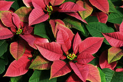Poinsettias rouges et vertes Photo libre de droits