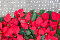 Poinsettias on stone street. Stock Photos