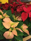 Poinsettias in two colors. Live Poinsettias in two different colors. Christmas Poinsettias come in a variety of shades of red with green leaves stock photography