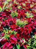 Poinsettias. Vibrant red poinsettias stock image