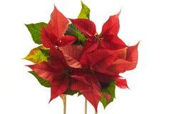 Poinsettie, Euphorbia pulcherrima Royalty Free Stock Photos