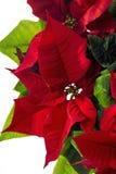 Poinsettie Euphorbiapulcherrima royaltyfri bild