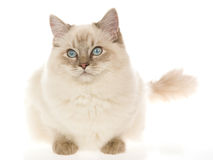 Point bleu Ragdoll sur le fond blanc Photographie stock libre de droits