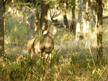 10 point buck standing at attention Stock Images