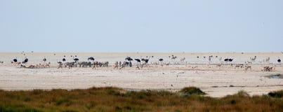 Point d'eau avec l'autruche, le zèbre et le springbok Image libre de droits