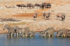 Point d'eau d'Etosha Photographie stock libre de droits