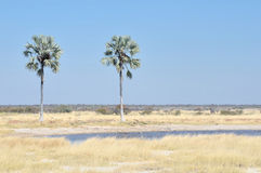 Point d'eau de deux paumes en parc national d'Etosha, Photo stock